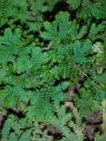 Clasificaci n de las plantas for Plantas sin semillas