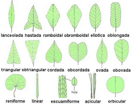 Opiniones de morfologia foliar for Tipos de arboles y su significado