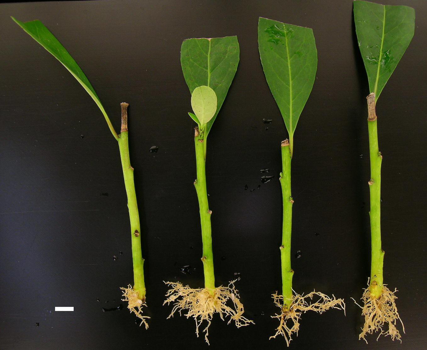 Reproducción Asexual o Multiplicación vegetativa