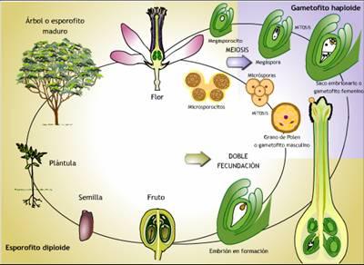 Proceso de reproduccion sexual en plantas angiospermas