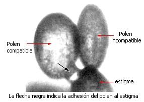 23 4 polinizaci n cruzada for Incompatibilidad en plantas