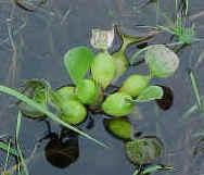 Planta flotante ó libre