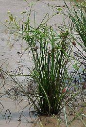 Planta palustre