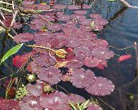 Acuáticas con hojas flotantes