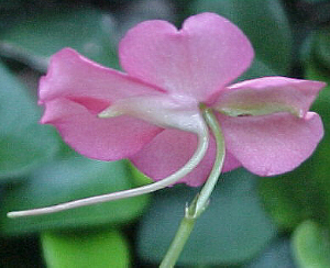 Cliz de Impatiens sultani
