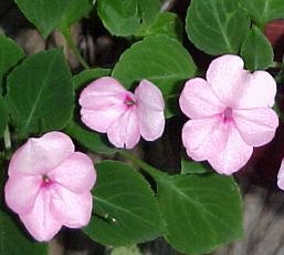  Impatiens sultanii
