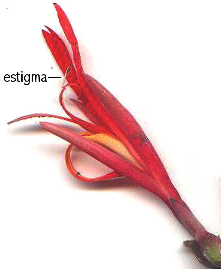 Estigma petaloide