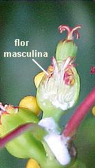 Flores monandras