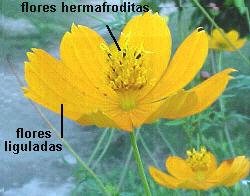 Planta ginomonoica (compuesta)