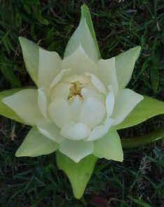 Flor espiralada (Nymphaea amazonum)