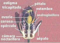 Passiflora caerulea corte longitudinal
