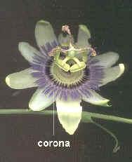 Corona en Passiflora caerulea