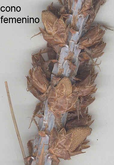 Conos femeninos jóvenes en Pinus sp