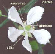 Poncirus trifoliata