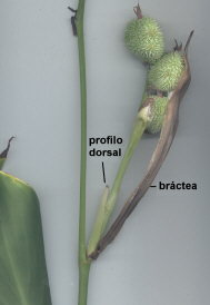 Profilo dorsal enCanna indica