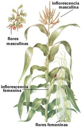 Ejemplos de flores unisexual flowers
