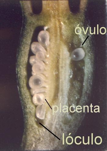 Ovario ínfero