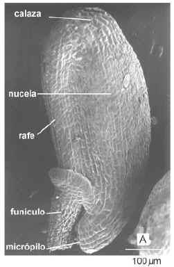 Imagen de óvulo (MEB)