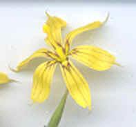 Flor simétrica