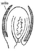 Esquema del ovulo en corte longitudinal