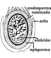 Corte transversal en semillas de Myristica fragrans