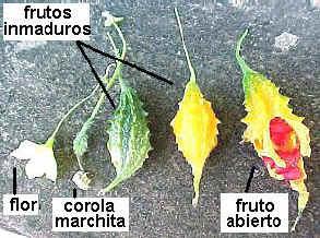 Flor, frutos inmaduros y fruto maduro
