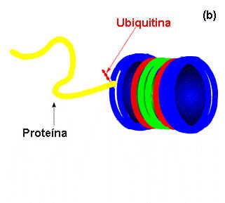 Proteosomas