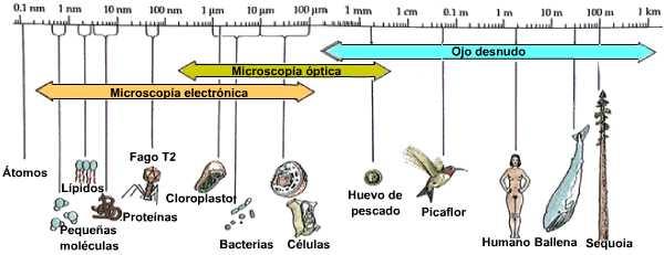 Ribosomas celula procariota y eucariota
