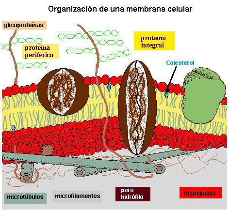 Membrana Composicion Y Estructura