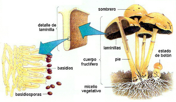 Ciclo de vida de un hongo Basidiomicete